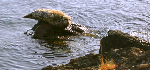 The edges of a harbor seal hang over the edges of a shoreline rock in the San Juan Islands.