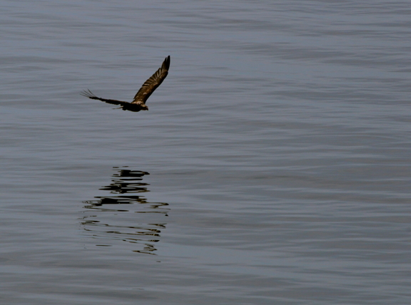 Juvenile Bald Eagle over the Salish Sea. Photo by Alex Shapiro.