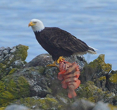 Bald  eagle and Tiger Rockfish