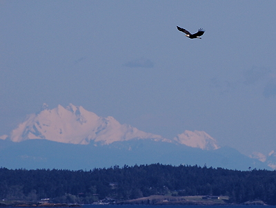 Bald Eagle passing the Cascades; photo by Alex Shapiro.