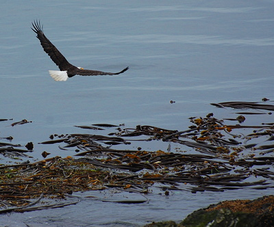 Bald Eagle over kelp beds; photo by Alex Shapiro.